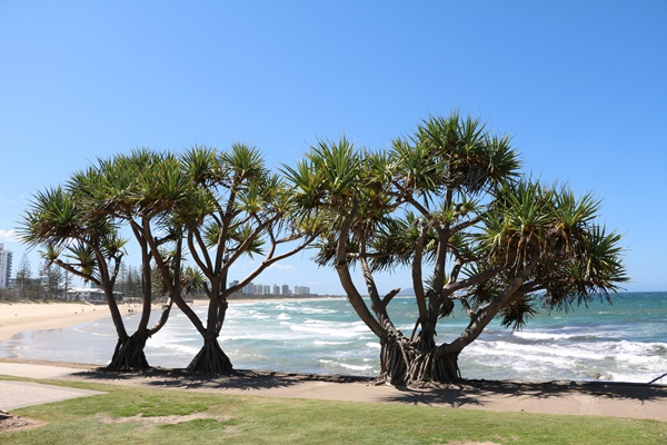 Pandanus trees - larger image