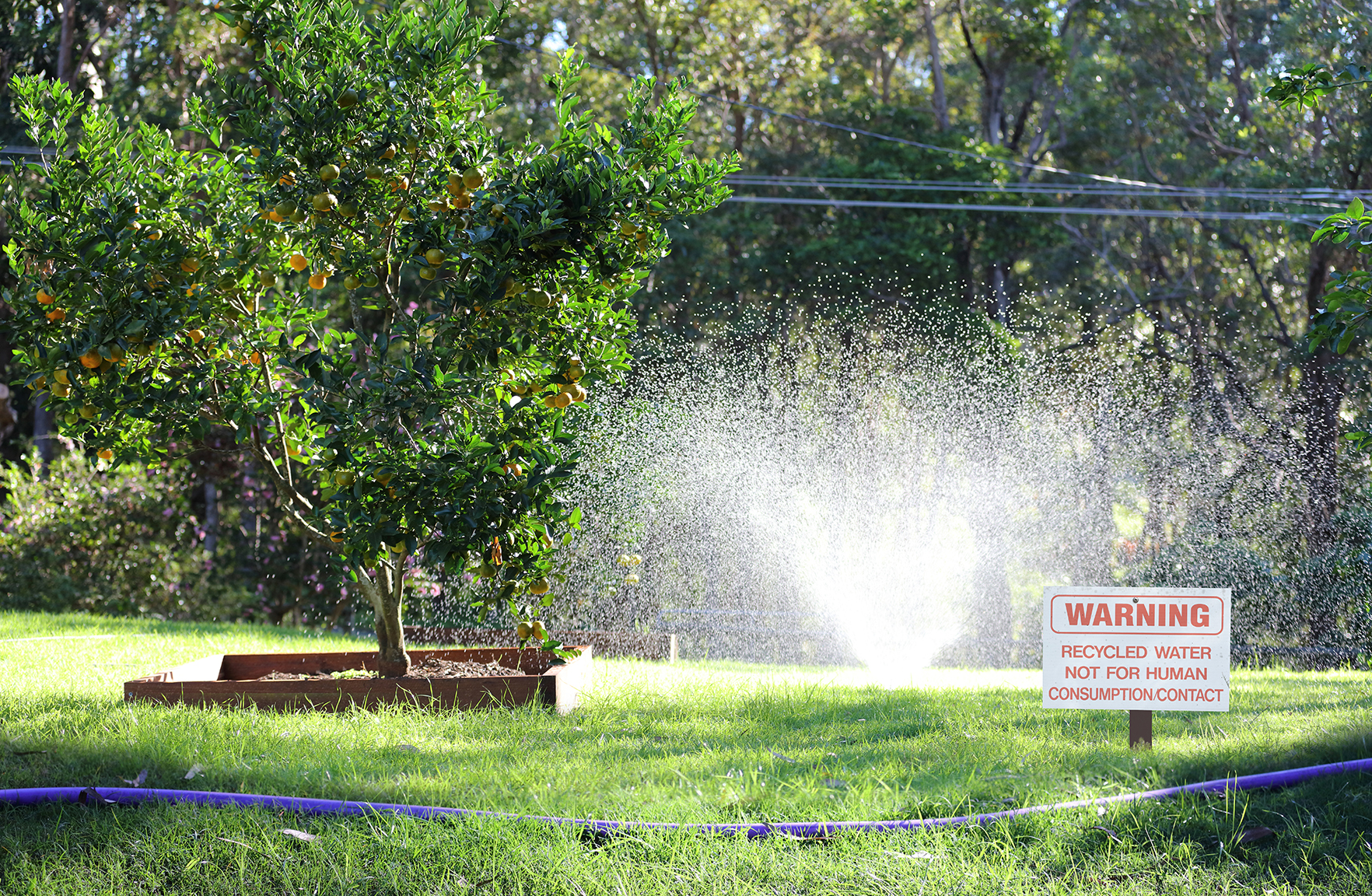 Recycled water purple pipe and sprinkler watering fruit tree