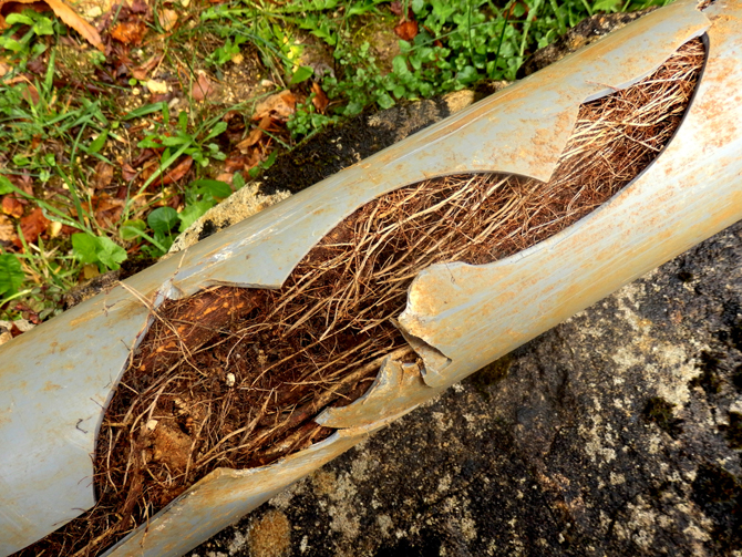 Broken sewerage pipe filled with tree roots