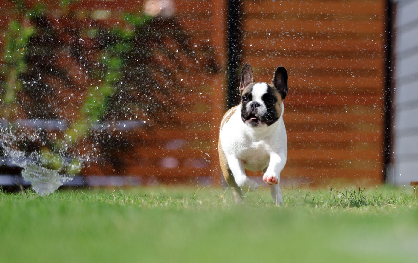 Dog running under water sprinkler in residential backyard